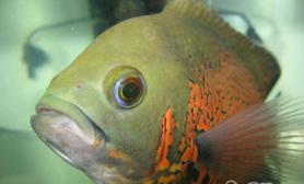 地图鱼的繁殖过程
