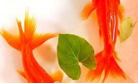 金鱼吃什么好喂金鱼吃什么长得快