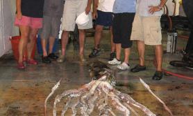 墨西哥湾发现巨型乌贼重47公斤长6米