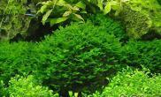 水族箱中常见的藻类