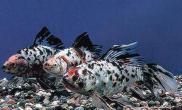 五花长尾草金鱼的外形特点