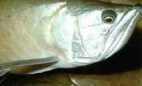关于龙鱼的眼球陷落症(图)