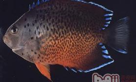 红闪电鱼的喂食要点