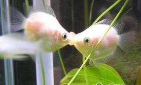 接吻鱼的饲养环境