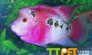 关于罗汉鱼品种演化过程