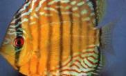 认识七彩神仙鱼的体态特征