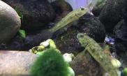 原生态虾虎