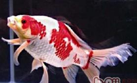 红白草金鱼的喂食要点