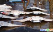 魔鬼鱼被大量猎杀已影响该物种的生存(多图)