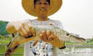 村民钓到鳝鱼身鳄鱼头怪鱼原来是条鳄雀鳝(图)