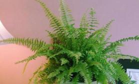 蜈蚣草常用的种植方法(图)