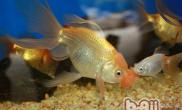 金鱼头型的详细分类