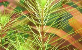 绿尾松的饲养条件(图)