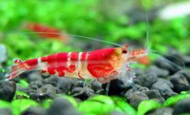 观赏虾成兰州市民新宠(图)