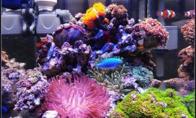 Colorfish的30方缸海水缸珊瑚造景