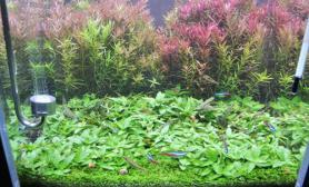 一年了水草缸30cm小缸纯水草