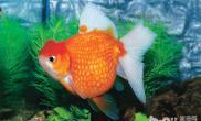金鱼饲养方法有哪些