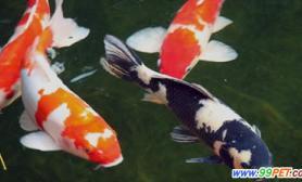 石总场观赏鱼业蓬勃温室大棚孵出鱼苗1100万(图)