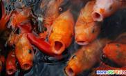 冬季养鱼需要注意的几点(图)