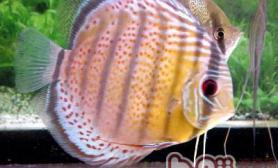 七彩神仙鱼的混养原则
