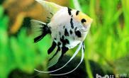 七彩神仙鱼养殖注意事项有哪些