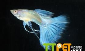 孔雀鱼幼苗的培养方法和注意事项