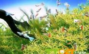 饲养孔雀鱼适合种什么水草