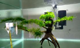 松茸莫斯造型的树一颗