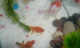 珍珠鳞金鱼的换水方法(图)