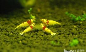 水晶虾的两种增白方法
