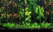 富贵竹在水草造景中的应用