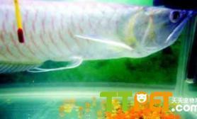 银龙的特征和饲养繁殖