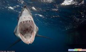 摄影师拍下凶残鲨鱼血盆大口画面(多图)