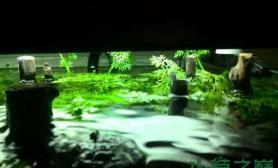 水草造景水芹长出水面了