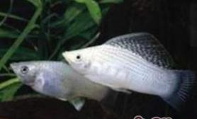 摩利鱼的饲养环境