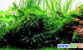 观赏水草腐烂病的防治(图)