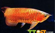 水质对龙鱼饲养有哪些影响