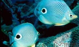 蝶鱼的一些常见种类