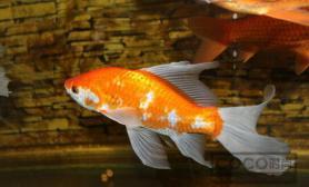 鹦鹉鱼常见病治疗 养鱼小贴士