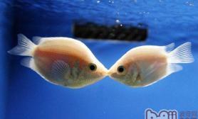 接吻鱼天生的鱼缸清道夫