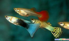 第一观赏鱼孔雀鱼的资料简介和繁殖管理(图)