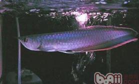 黑龙鱼的饲养环境