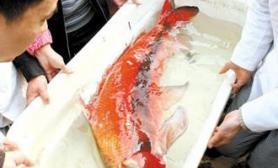 长江如皋段发现胭脂鱼二级保护动物濒危物种(图)
