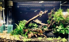 我的辣椒榕缸沉木杜鹃根青龙石水草泥造景为了简单的美