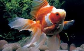 经验之谈养金鱼最好用老水(图)