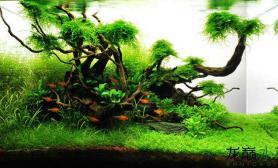 水草怎么绑在沉木上?