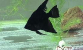 黑神仙鱼的品种简介