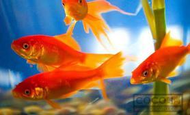 养金鱼要注意什么 饲养事项详解
