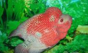 遗传导致罗汉鱼成长蜕变