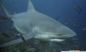 研究称公牛鲨在各类鲨鱼中咬合力最强(图)